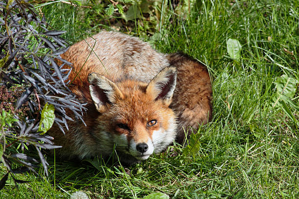 alert red fox lying down in urban garden - whiteway fox stock photos and pictures