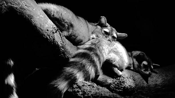 snuggling ringtails (bassariscus astutus - gato civeta fotografías e imágenes de stock