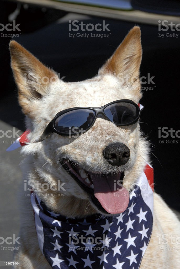 So Cool! Rescued Dog in Sunglasses royalty-free stock photo