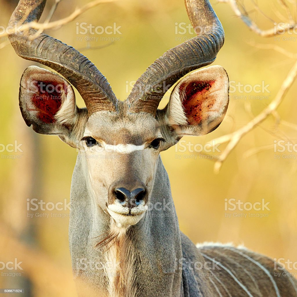 Cropped shot of a male kudu on the plains of...