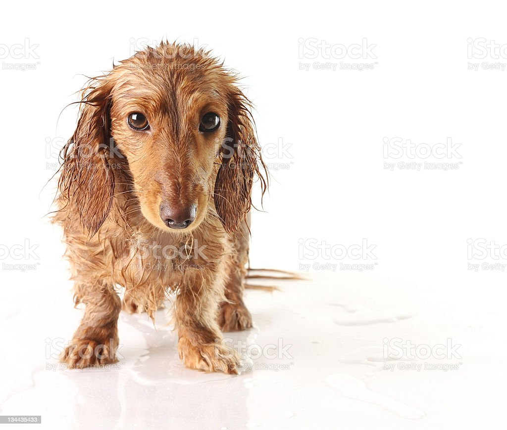 Soaked puppy stock photo