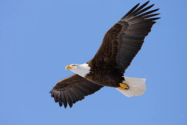 Soaring Bald Eagle stock photo