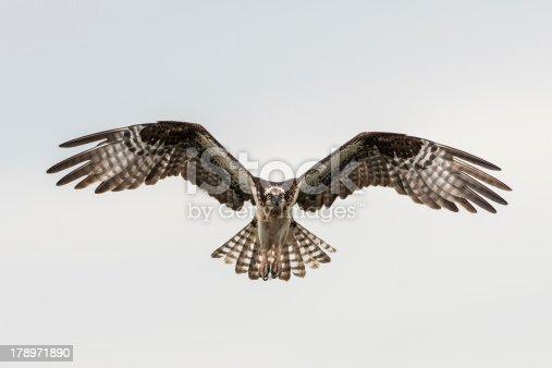istock Soaring osprey 178971890