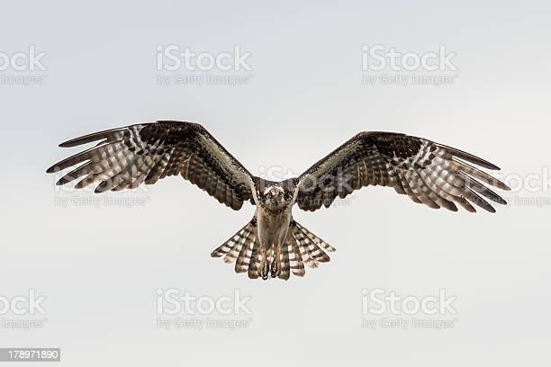 Soaring osprey picture id178971890?b=1&k=6&m=178971890&s=612x612&h=wf9ekpgxbcz5ls1fbqll3lpklw38 2ln7ylypew2iig=