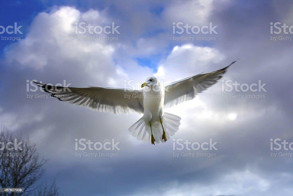 Soaring seabird royalty-free stock photo