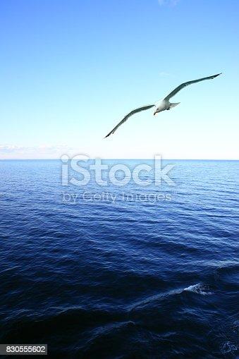 istock Soaring seagull over sea 830555602