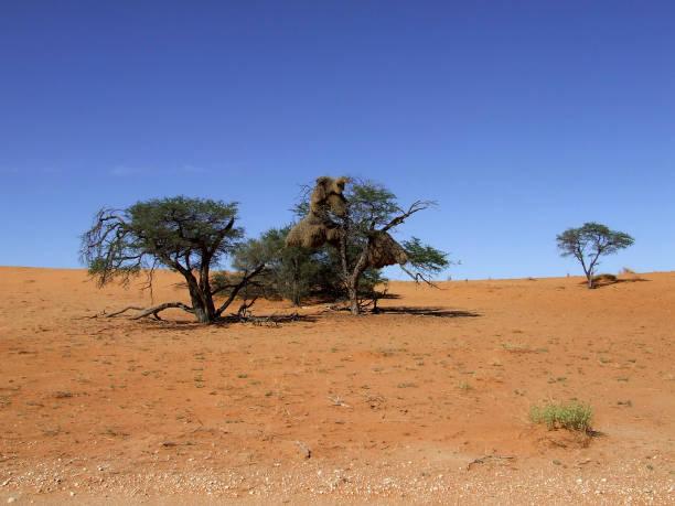 Sociable Weaver, Philetairus socius, bird nests in Acacia trees, Kalahari Desert, Northern Cape, South Africa stock photo