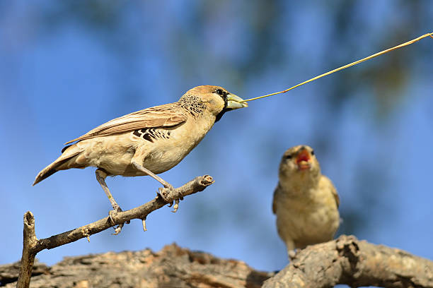 sociable weaver,Namibia stock photo