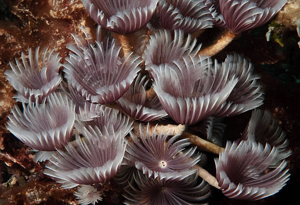 Social Feather Duster Worms stock photo