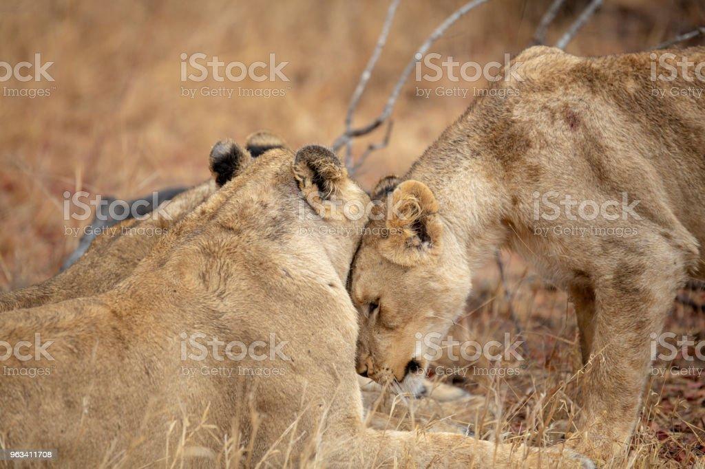 Społeczna interakcja lwicy i jej siostry - Zbiór zdjęć royalty-free (Bez ludzi)