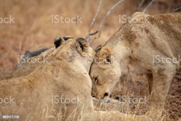Społeczna Interakcja Lwicy I Jej Siostry - zdjęcia stockowe i więcej obrazów Bez ludzi