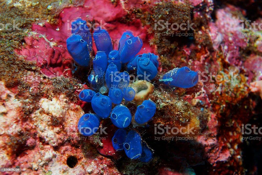 Social Tunicates stock photo
