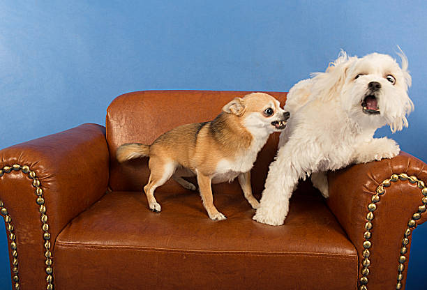 beisammensein erwachsenen dogs- omg, ich bin ängstlich! - knurren stock-fotos und bilder