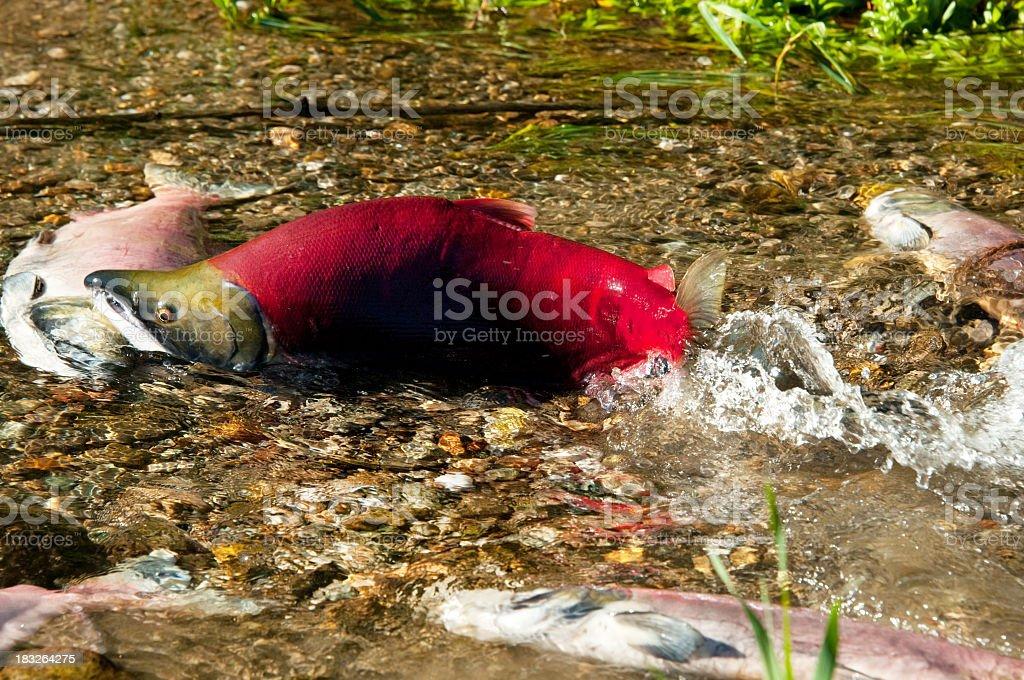 Sockeye Salmon - Guardian of Future Generation royalty-free stock photo