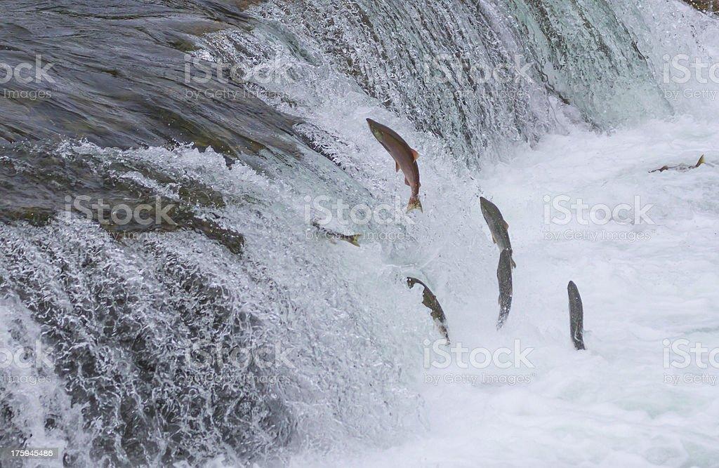 Sockeye Salmon Jumping Up Falls royalty-free stock photo