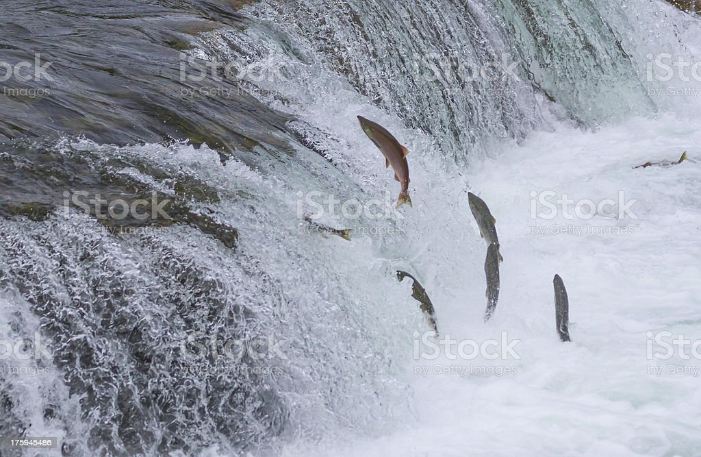 Sockeye Salmon Jumping Up Falls stock photo