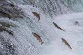 istock Sockeye Salmon Jumping Up Falls 476010523