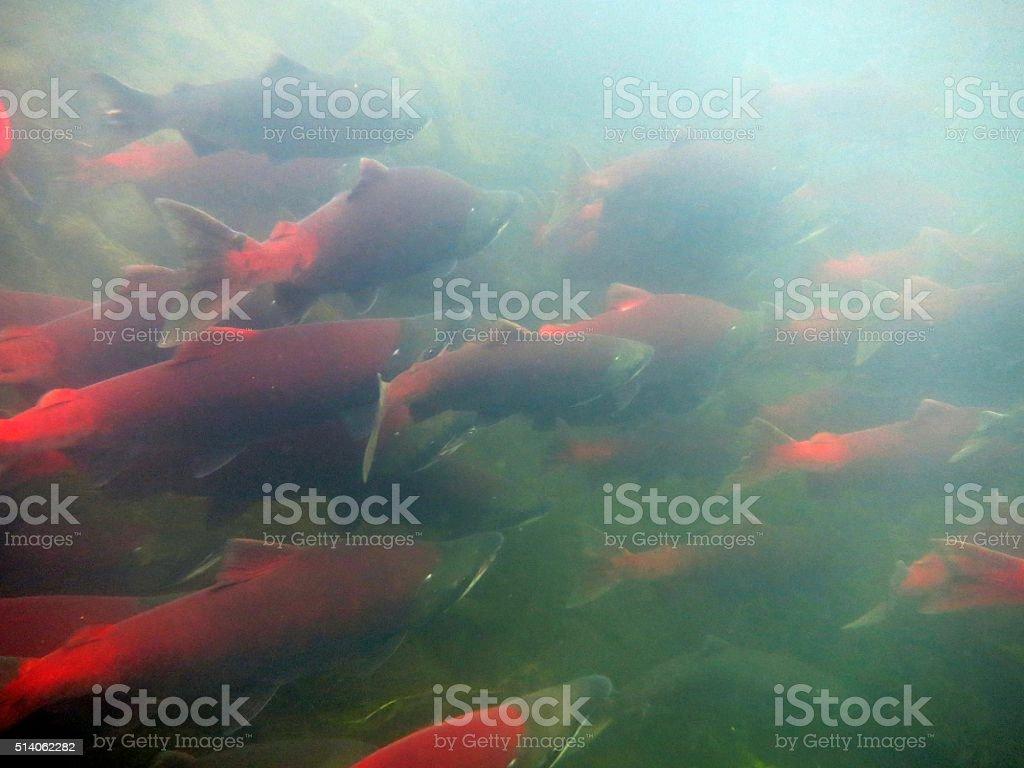 Sockeye Salmon stock photo