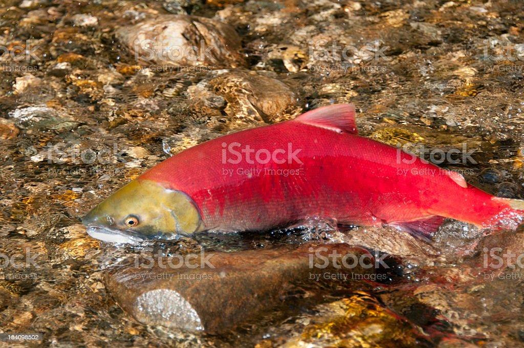 Sockeye Salmon Swimming Upstream - Female royalty-free stock photo