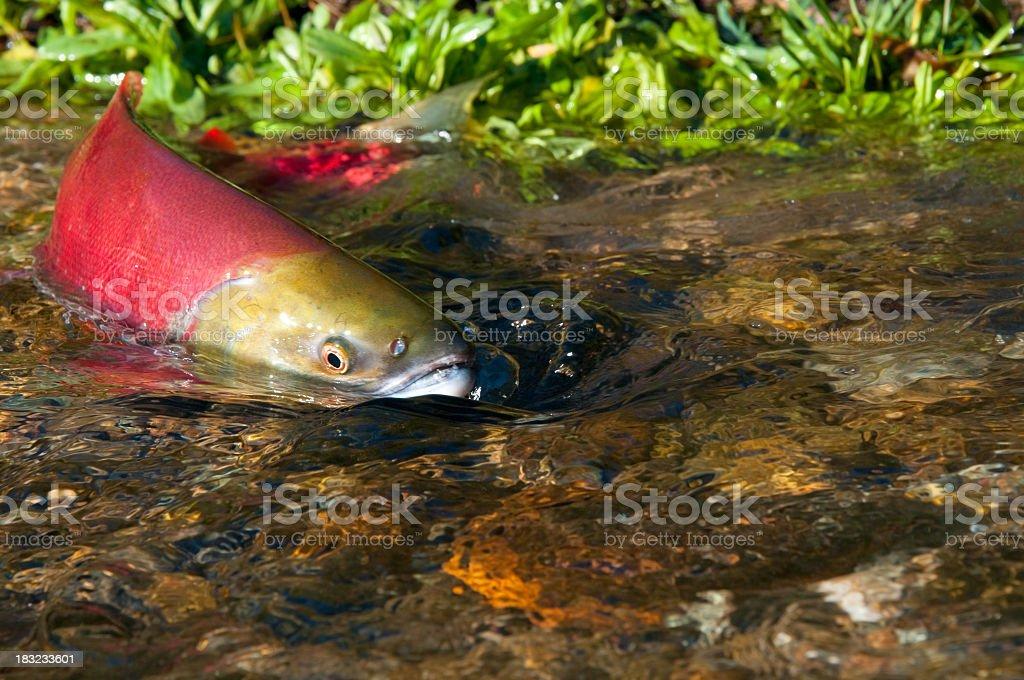 Sockeye Salmon Swimming Upstream stock photo