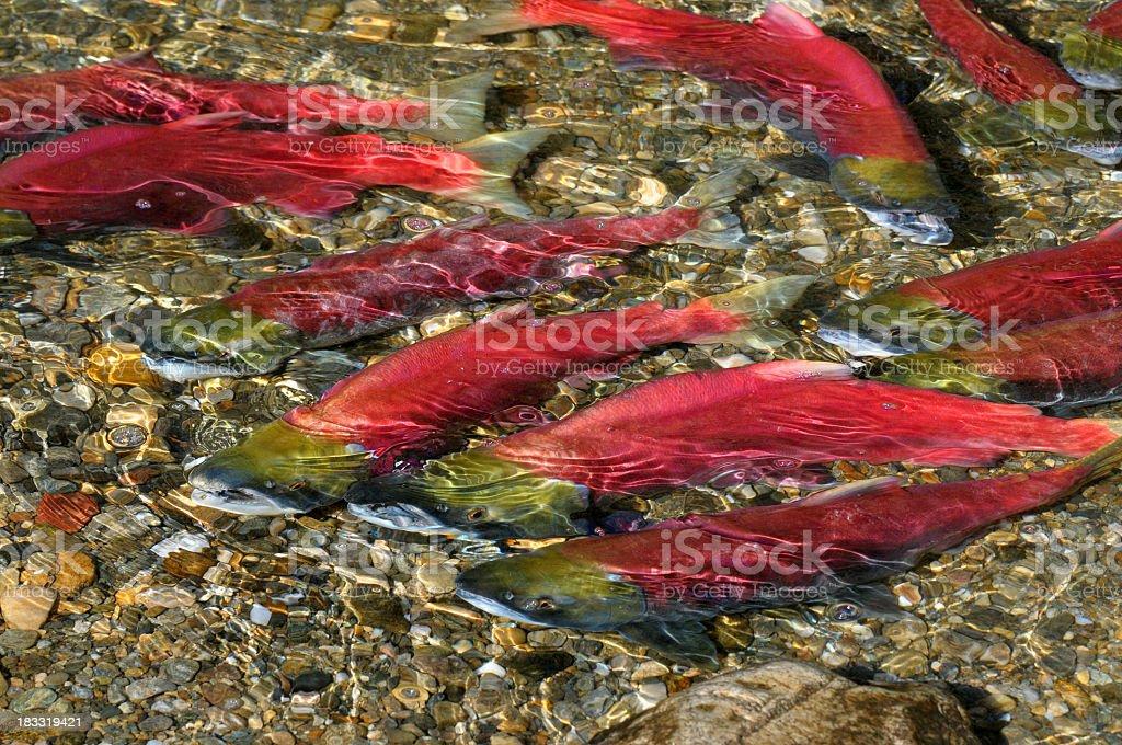 Sockeye Salmon Swimming Upstream royalty-free stock photo