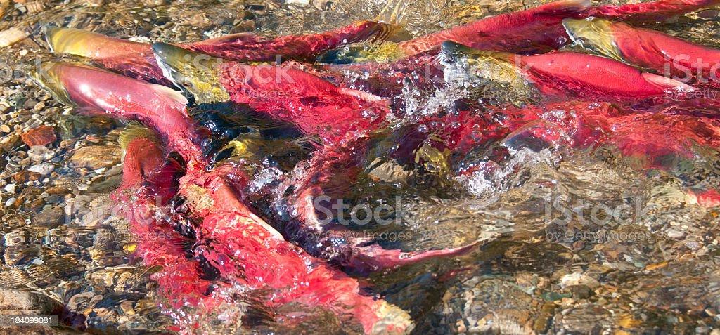 Sockeye Salmon Swimming Upstream. stock photo