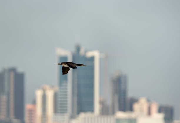 Socotra cormorant in flight stock photo