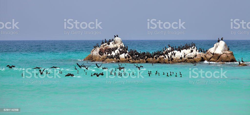 Socotra cormorants on the sea rock stock photo