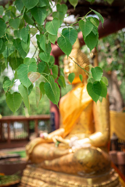 sofe focus of green bodhi leaf witch Buddha statue background stock photo
