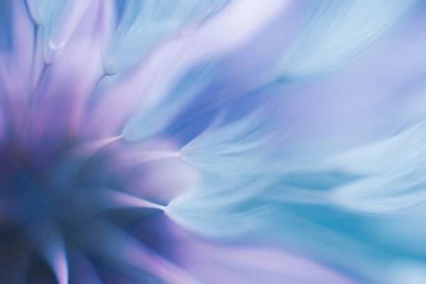 Soft abstract gradient background , abstract dandelion stock photo