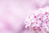 Soft and gentle pink lilac flowers