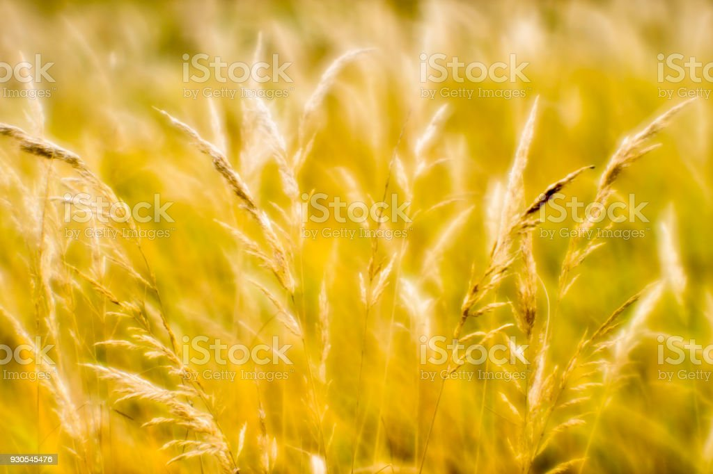 Soft background blur of dry grass in the fall. Closeup of wheat ears...