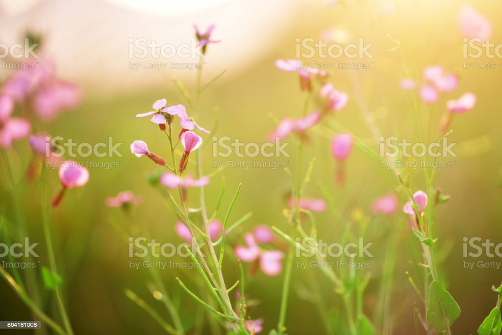 soft beautiful meadow wild pink flowers on natural green grass background in field. Outdoor fresh summer photo with warm colors royalty-free stock photo