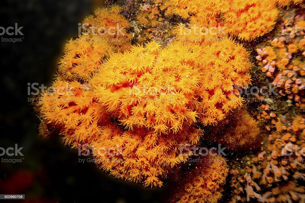 Soft blooming Orange coral at night stock photo