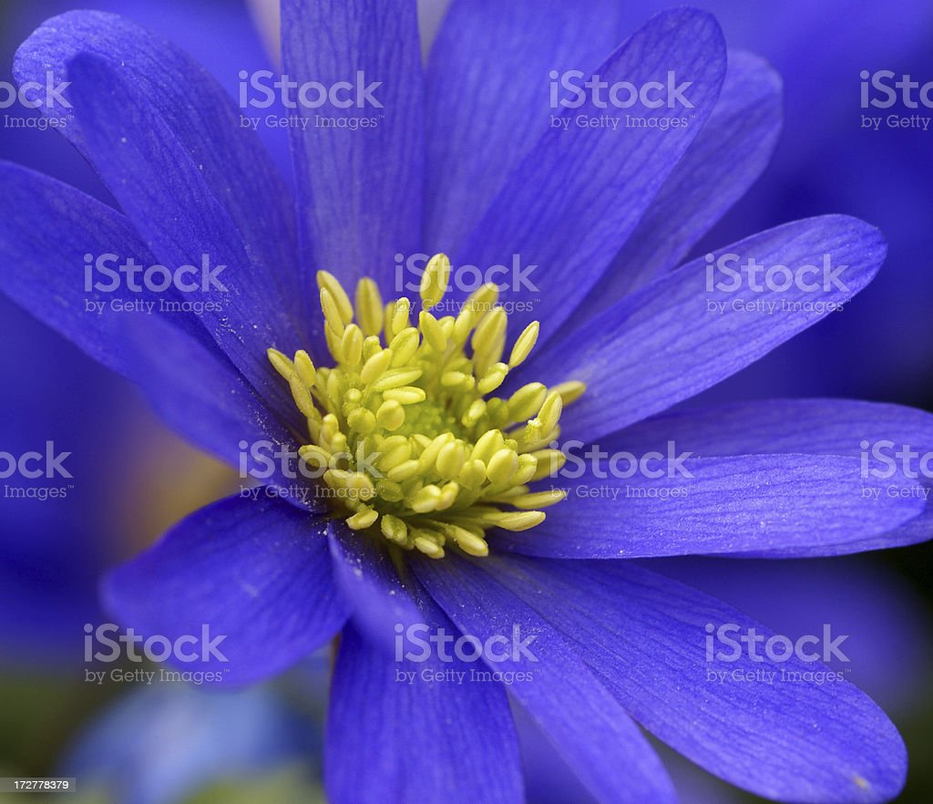 Soft blue anemone royalty-free stock photo