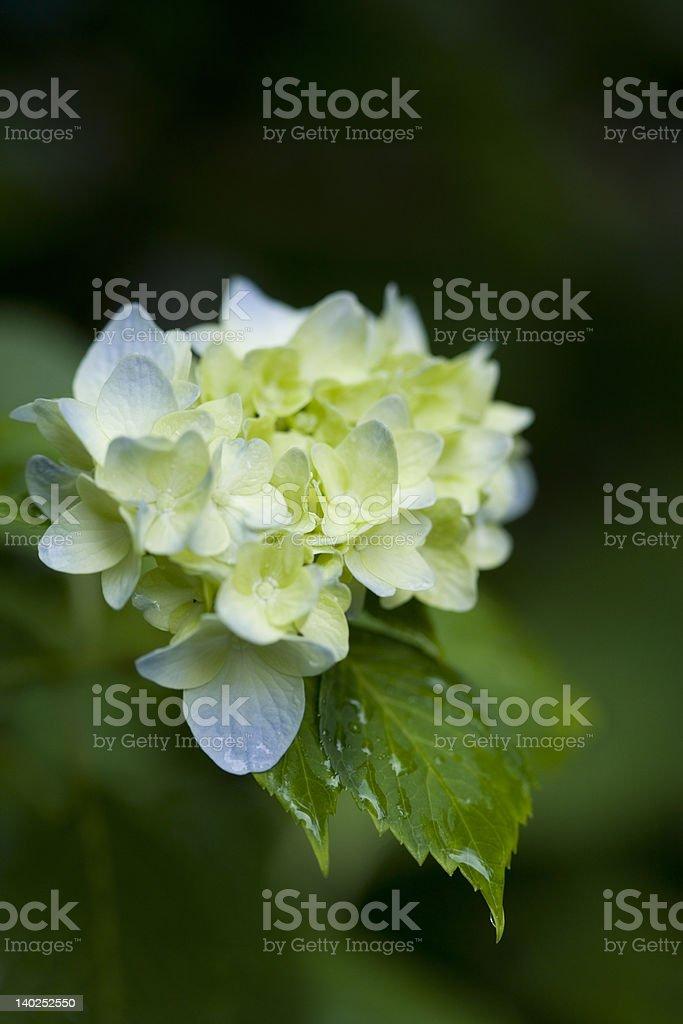 soft blue flowers hydrangea royalty-free stock photo