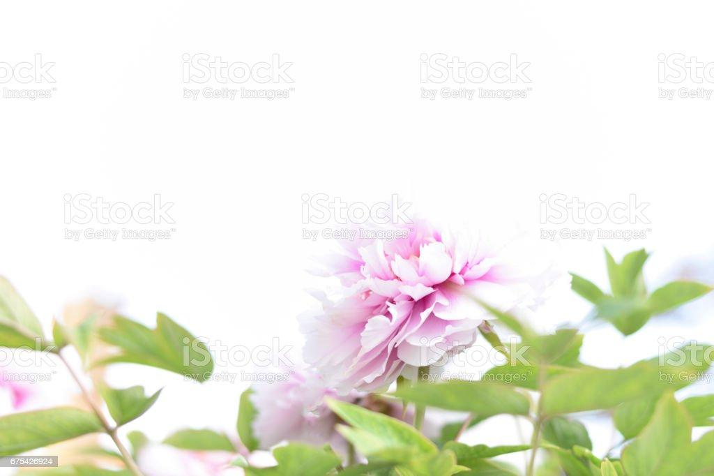 Yumuşak Şakayık çiçeği beyaz arka plan üzerinde bulanık. royalty-free stock photo