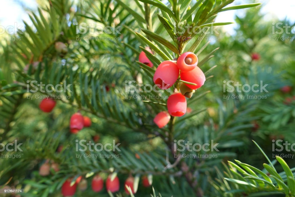 Soft bright red berry like seed cones of European yew stock photo