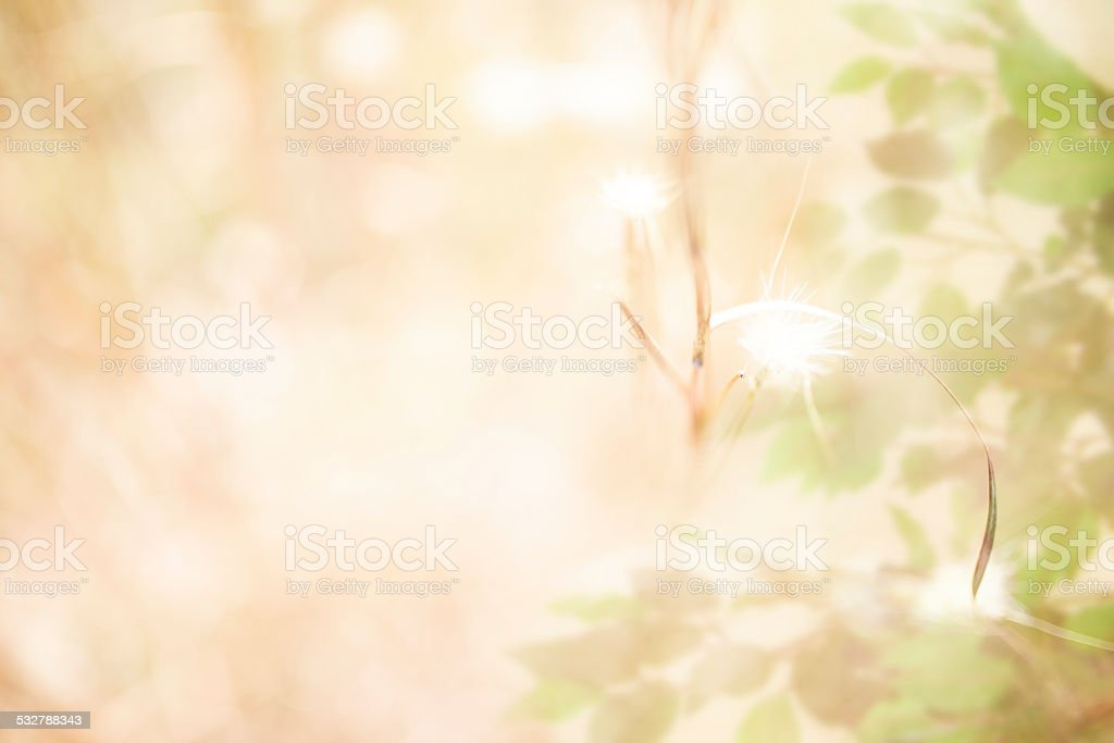 Soft brown thistles, ficus tree overlay in meadow. Defocused. Nature. stock photo