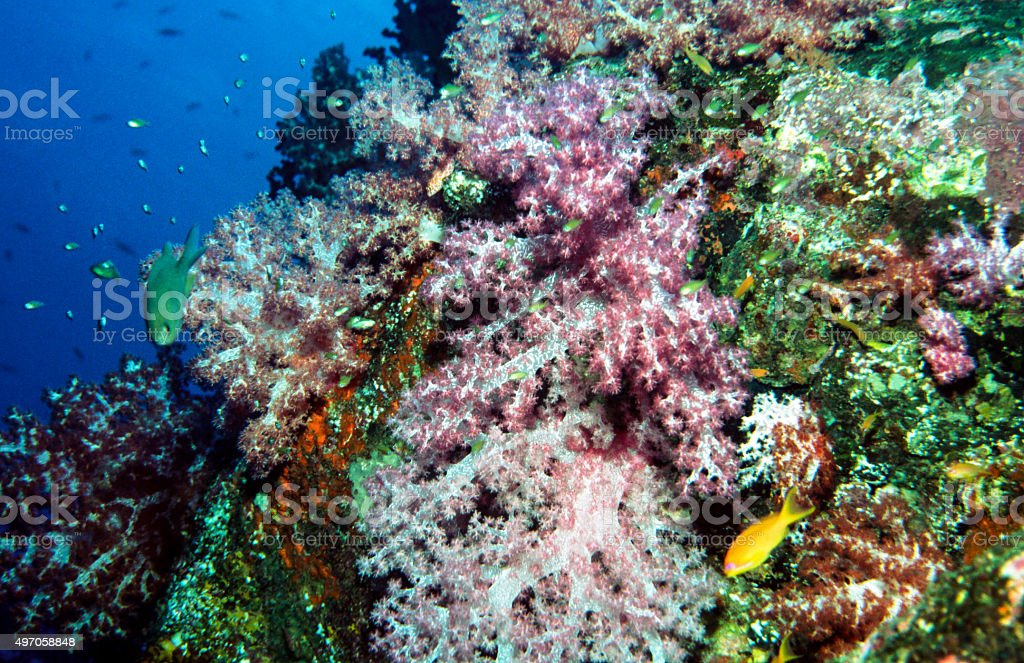 Soft coral and reef fish - Thailand stock photo
