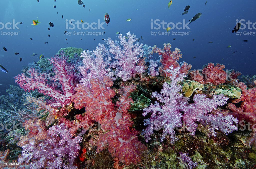 Soft coral colony , Similan island Thailand stock photo