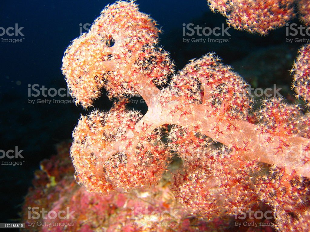 Soft Coral Feeding royalty-free stock photo