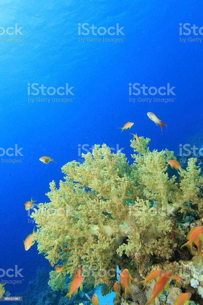 Koral miękki niebieski wody zbiór zdjęć royalty-free