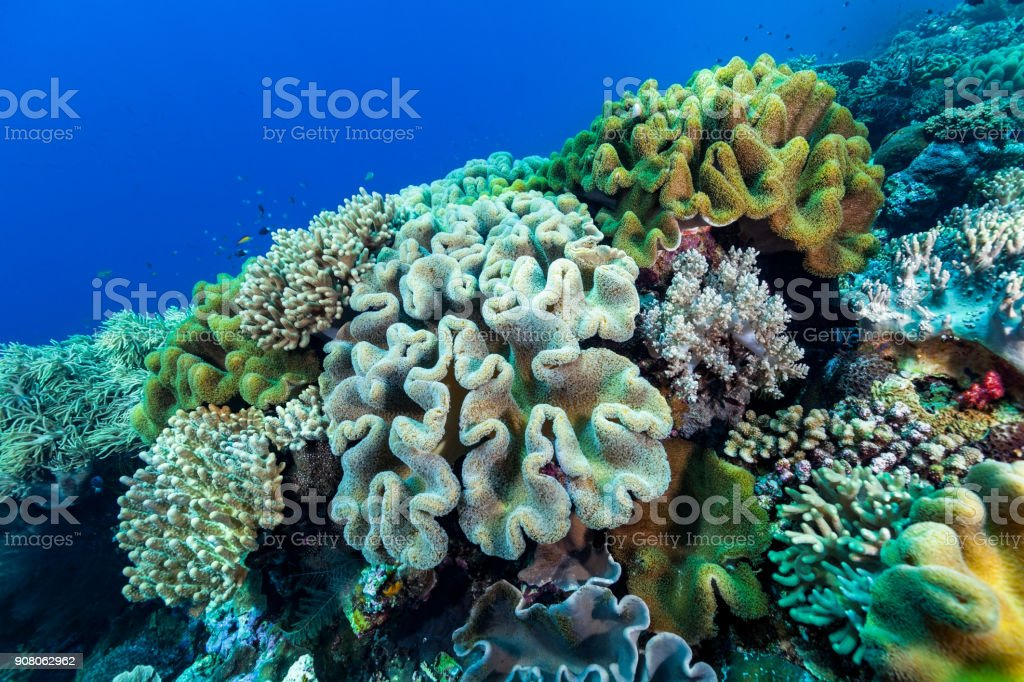 Soft Coral Paradise at the Edge of the Reef, Banda Sea, Indonesia stock photo