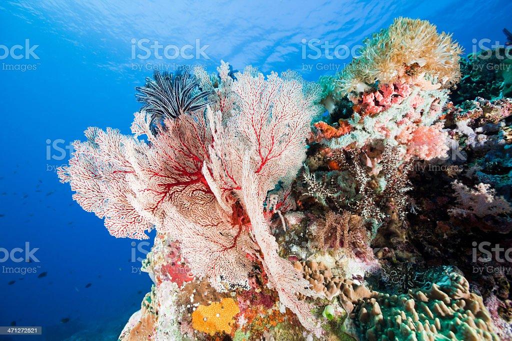 Soft Coral Paradise with Gorgonian Beauty at Gili Banta, Indonesia stock photo