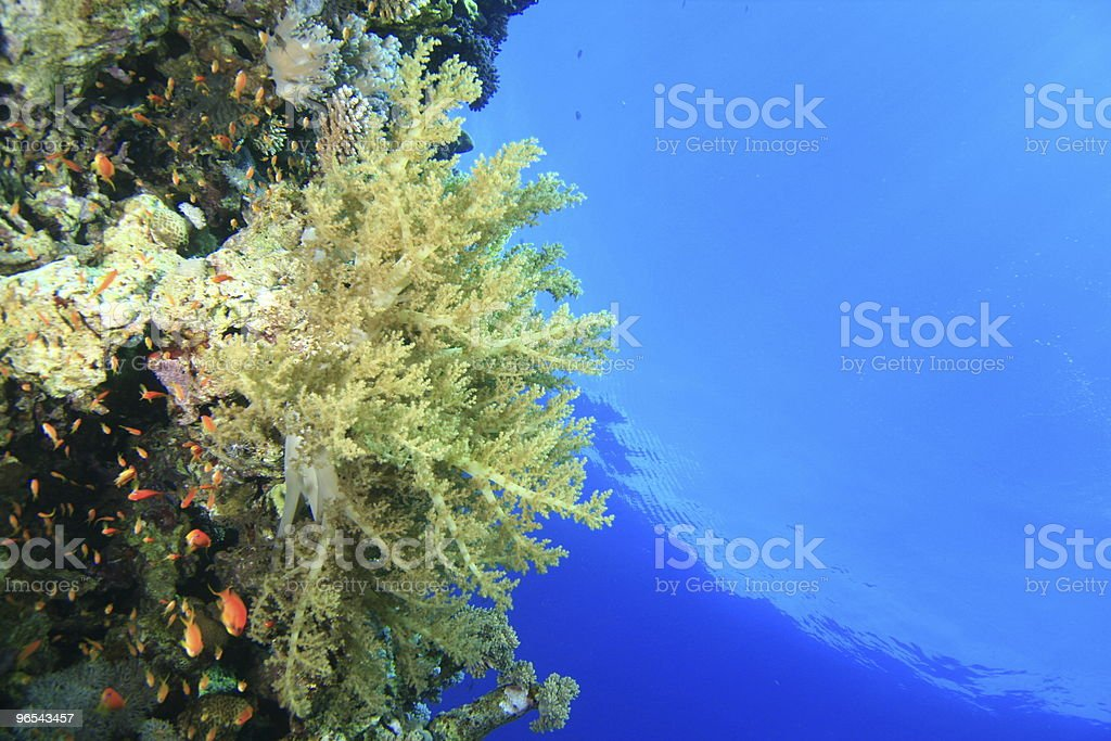 Soft coral royalty-free stock photo