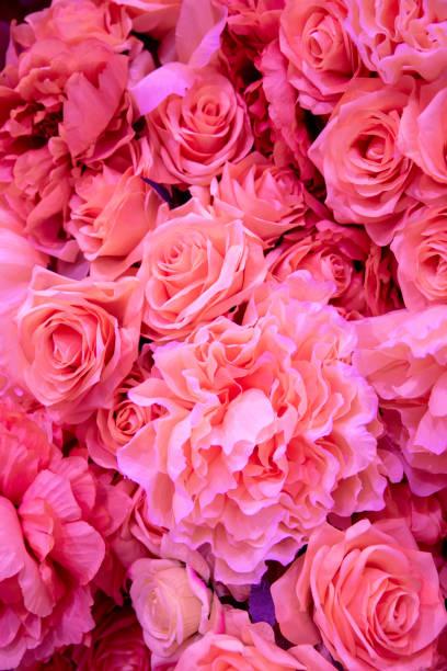 Soft coral pink color roses background picture id1128033494?b=1&k=6&m=1128033494&s=612x612&w=0&h=8otlrh66fxvgojhkt1tfuchtojuwulfqkp8qy0trt8u=