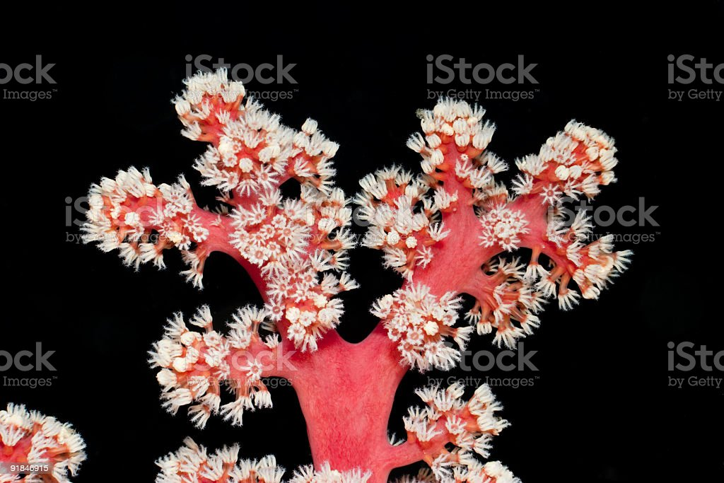 Soft Coral: Snow White, Blood Red and Ebony Wood Black stock photo