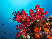 Underwater wide angle photography of a soft coral in the tropical sea.
