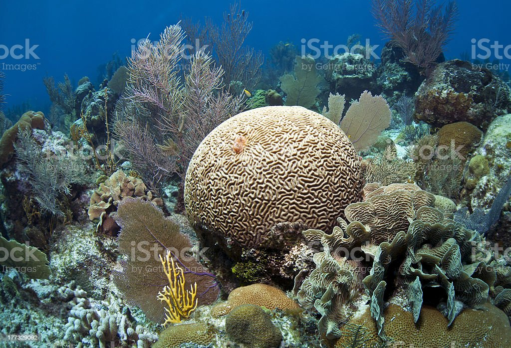 Soft corals and brain coral stock photo